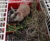 भुखमरी से निपटने की सरकारी योजना से आफत में खरगोश