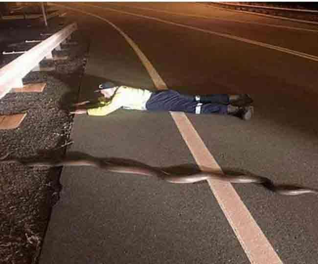 अजगर की जान बचाने के लिए सड़क पर लेट गया यह आदमी