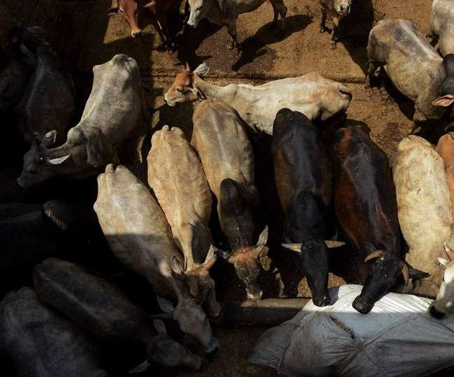 भाजपा नेता की गोशाला में दो दिन में 30 गायों की मौत, लगे गंभीर आरोप