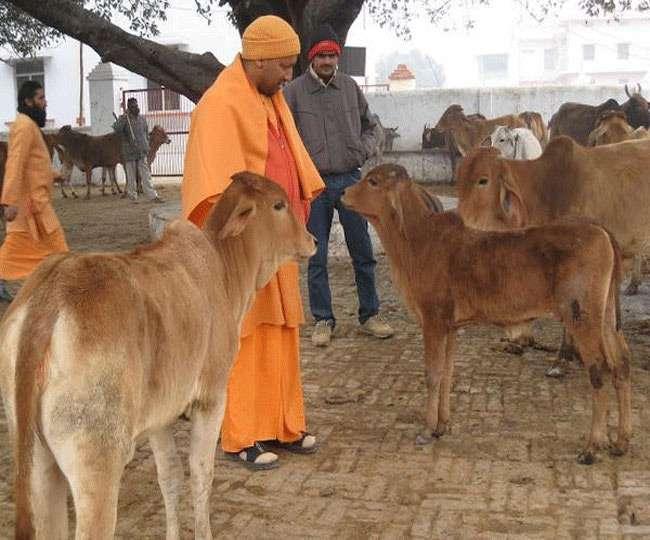 सीएम योगी के अलग - अलग रंग, आहट से पहचानती हैं गौशाला की गायें