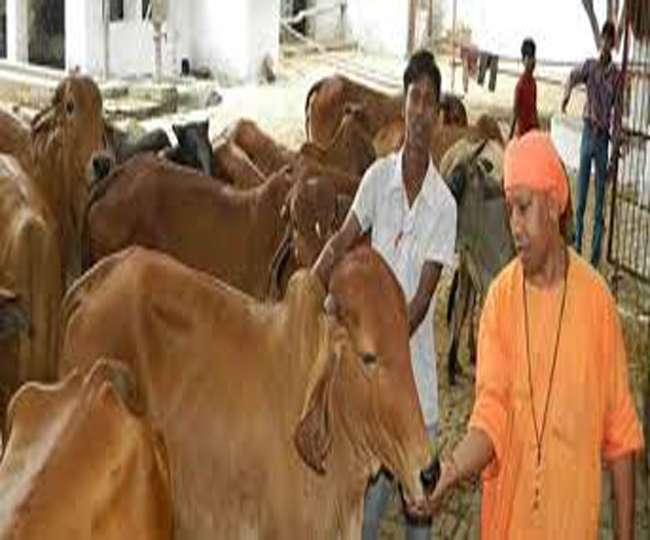 योगी की आहट पहचानती हैं गोशाला की गायें, पास आने की रहती होड़