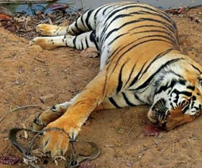 कार्बेट टाइगर रिजर्व में मारे गए थे 20 से ज्यादा बाघ!