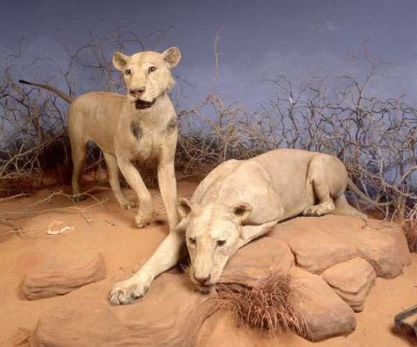 गुत्थी सुलझी: दंत रोगों के कारण नरभक्षी हुए सावो शेर