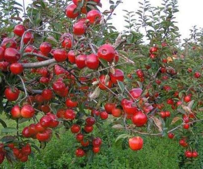 जिन बागों में कभी लाल-लाल सेब लटकते थे, आज बह रहा खून