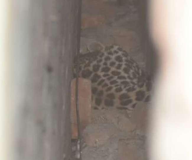 बागेश्वर में गली में घुसा तेंदुआ, ग्रामीणों में दहशत