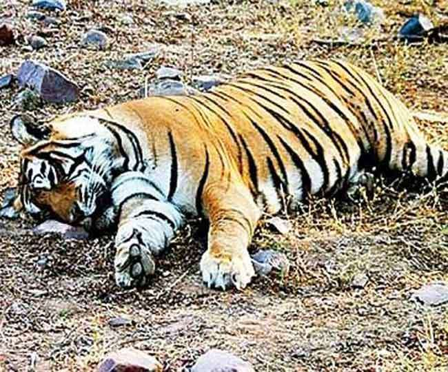 शिकारियों की करतूत: भारत में हर साल 46 बाघों का शिकार