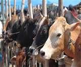 पशु तस्करी रोकने के लिए मोदी सरकार की सिफारिश, गायों के लिए भी होगा UID