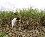 गन्ना किसानों को राहत, समर्थन मूल्य में 25 रुपये प्रति क्विंटल का इजाफा