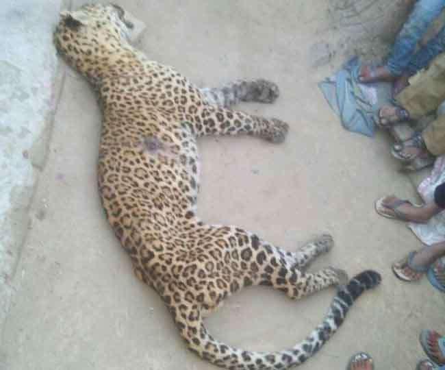 तेंदुए ने किया दंपती पर हमला, भीड़ ने लाठियों से पीटकर मार डाला