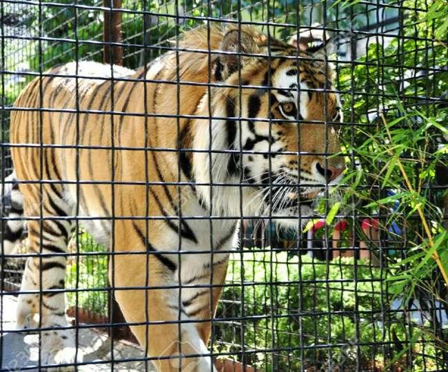 पहाड़ चढ़े बाघ को नहीं मिलेगा प्राकृतिक वास