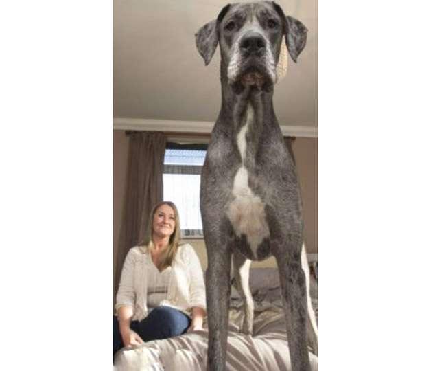 मिलिए 7.6 इंच लंबे कुत्ते फ्रेडी से जो है दुनिया का सबसे बड़ा कुत्ता