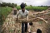 चीनी मिलों पर गन्ना किसानों की 12,270 करोड़ रुपये की देनदारी