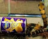 खुलासा! आलू चिप्स केन में निकला जहरीला किंग कोबरा