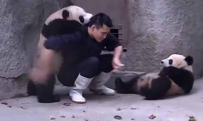कड़वी दवा खाने में इंसान ही नहीं, सीधे साधे पांडा भी करते हैं बहुत नाटक