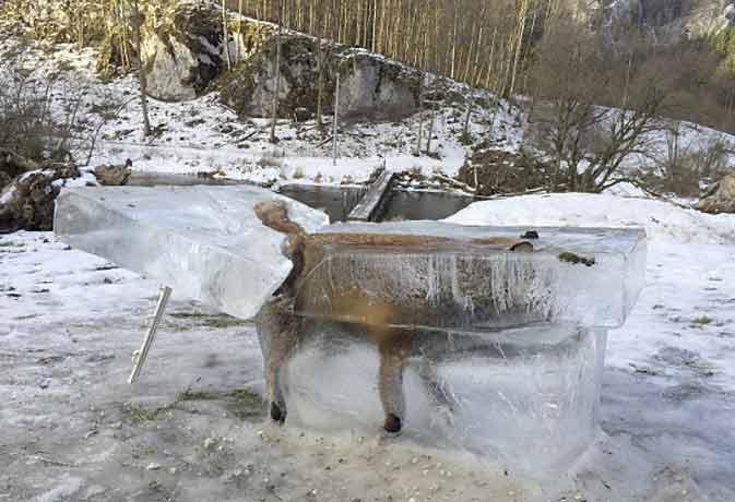 सर्दी का कहर, नदी में जा गिरी लोमड़ी तुरंत जम गई