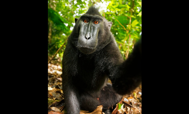 selfie snapping monkey,person of the year,indonesia selfie snapping monkey,indonesia monkey selfie,monkey take selfie,selfie monkey peta