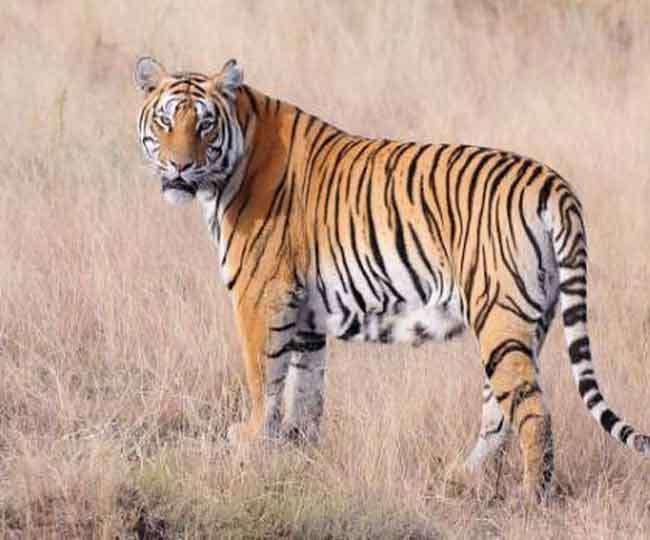 उत्तराखंड में बाघों के अवैध शिकार पर हाईकोर्ट सख्त, मुख्य सचिव से मांगा जवाब