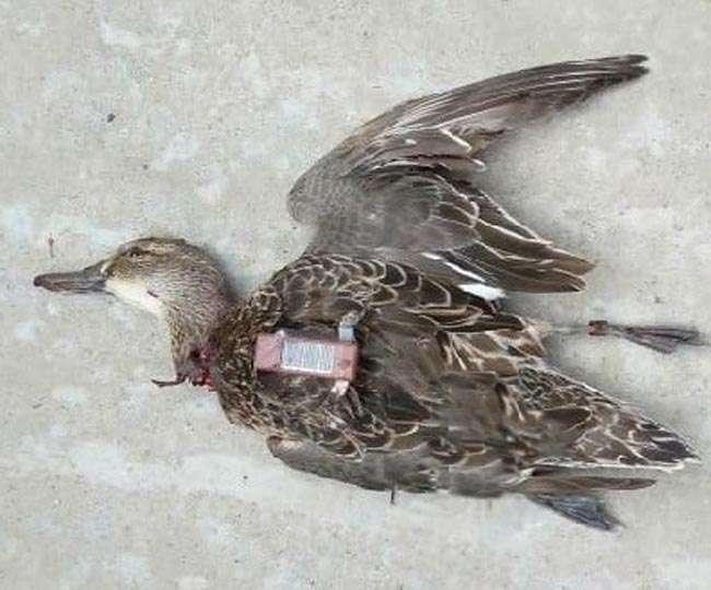 पाकिस्तान के जासूस पक्षी से भिड़ गए यहां के परिंदे, मार गिराया तो खुला ये अहम राज