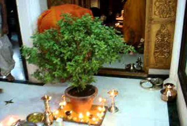 Precautions With Tulsi Leaves