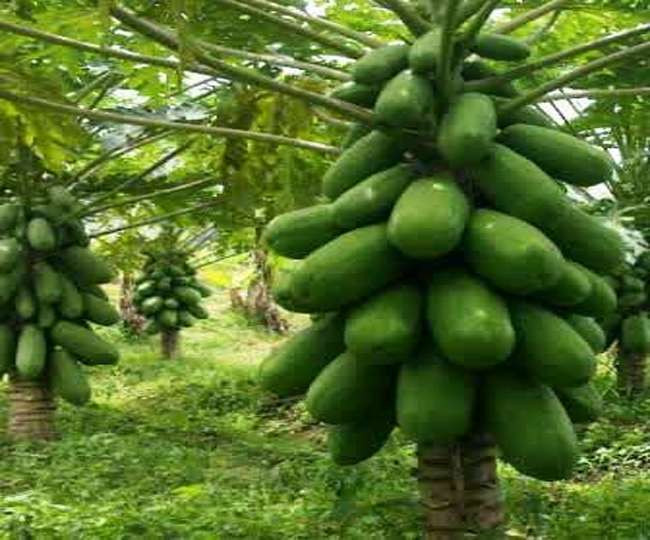 leaf of papaya is important for health