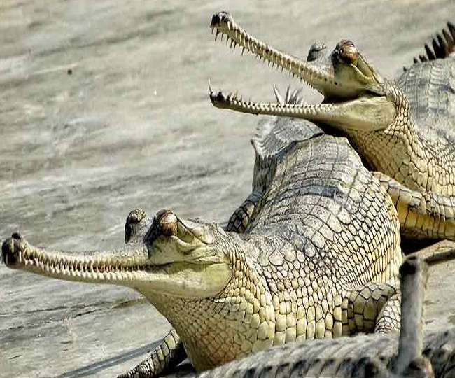 Good news for wildlife lovers increased Family of crocodile