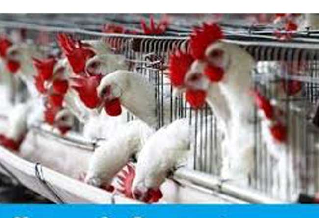 The largest poultry farm in Aligarh will be built in Gurusikran
