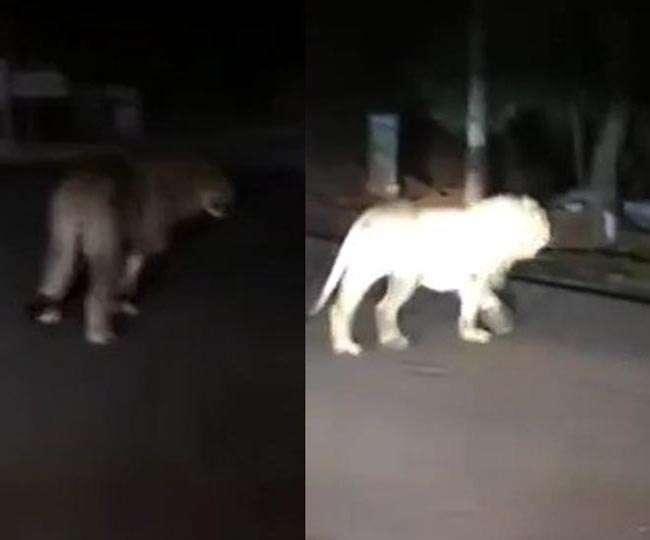 पटना की सड़कों पर मटरगश्ती करता दिखा शेर, जानिए इस वायरल वीडियो का सच