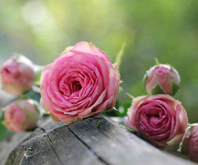 Here are some surprising skin benefits of Rose