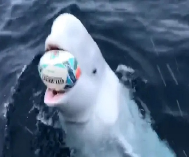 Watch | Man playing fetch with Beluga whale is the best thing you will see on internet today