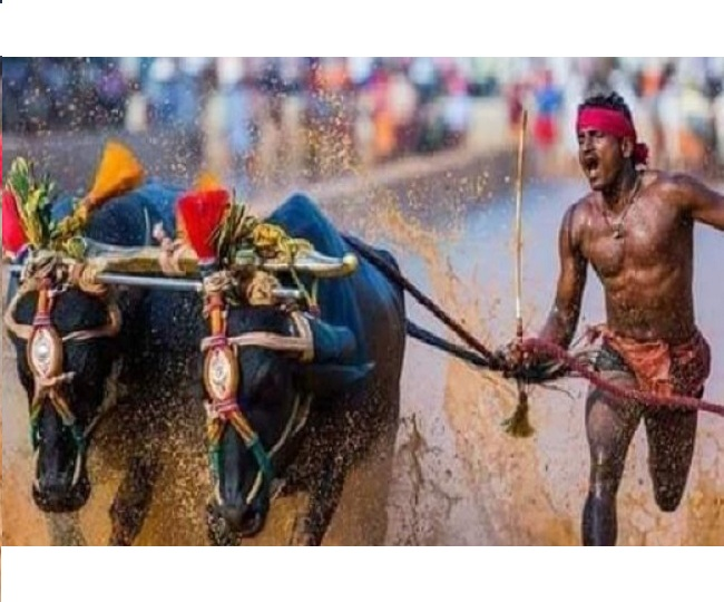 Watch: Karnataka buffalo racer stuns world by running 100 m in 9.55 sec; people claim he broke Usain Bolt's record