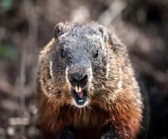 Bubonic Plague alert sounded in Chinese city, people warned against eating marmot meat