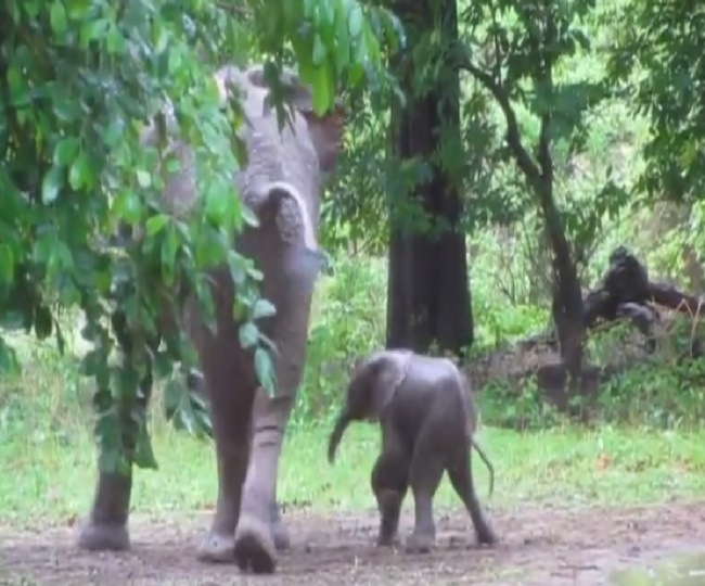 WATCH: Baby elephant trying to take its first step will surely melt your heart
