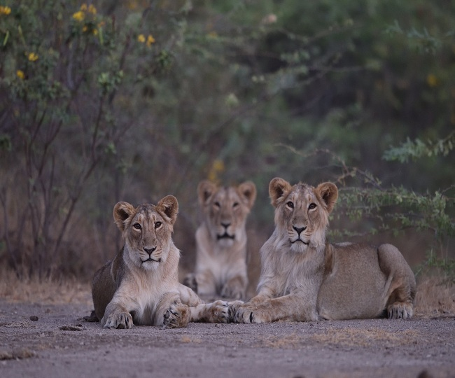 PM Modi shares good news with netizens as Asiatic Lions' population increased to 674 in five years