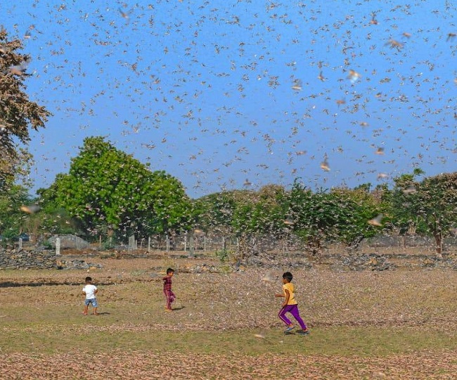 'Cover plants with plastic sheets, clang drums and utensils': Govt issues advisory as swarms of locusts reach Delhi