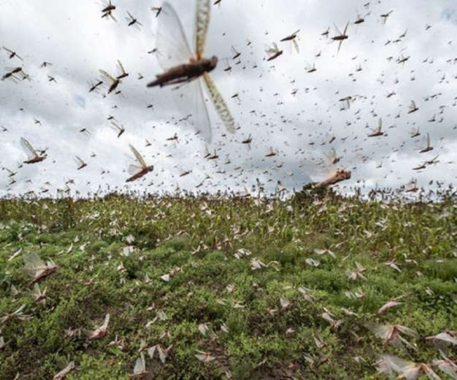 Swarms of locust rattle Gurugram, leave people in panic; here's how we can control the invasion
