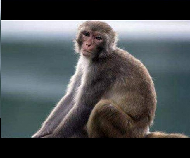 Monkey steals COVID-19 patients' blood samples in Meerut