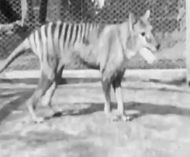 Rare video of Benjamin, the last Tasmanian Tiger, shot in 1935 released online by NFSA | Watch