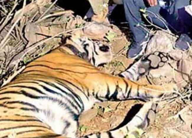 राजस्थान में 24 घंटे में दो बाघों की मौत, एक बाघ एक माह से लापता