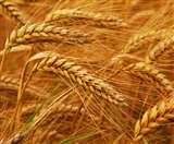 उत्तराखंड में गेहूं उत्पादन राष्ट्रीय औसत का महज 13 फीसद, पढ़िए पूरी खबर
