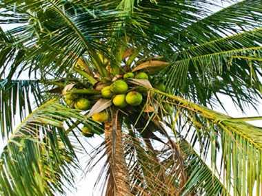 Image result for नारियल का पेड़