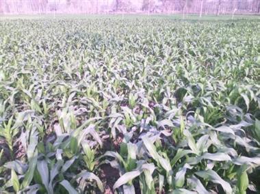 मक्का की सहफसली खेती से बढ़ाएं कमाई