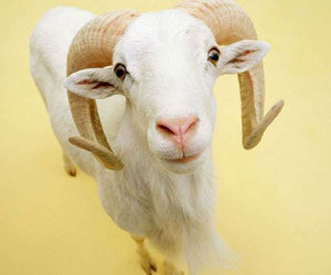 Goat of 80 Lakh Sell on OLX