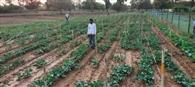 भाड़े की जमीन पर हो रही है सब्जी की खेती