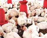 चिकन के शौकिनों को करने होगी जेब ढीली, दामों में उछाल