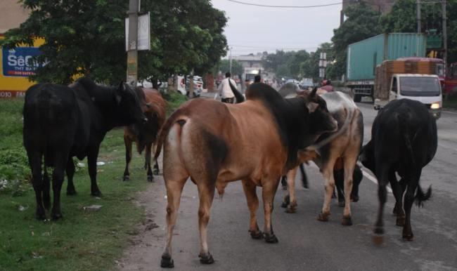 सड़कों को बेसहारा पशुओं से मुक्त करने का अभियान आज से शुरू, पहले शहर में राष्ट्रीय राजमार्ग से हटाए जाएंगे पशु