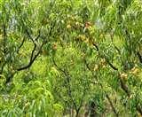 मौसम और लॉकडाउन ने पहाड़ी फल उत्पादकों की तोड़ी कमर, रामनगर में 20 करोड़ की लीची का कारोबार चौपट