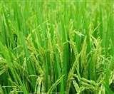 धान वैज्ञानिकों ने दो किस्मों पर शुरू किया ट्रायल, किसानों को होगा दोहरा फायदा