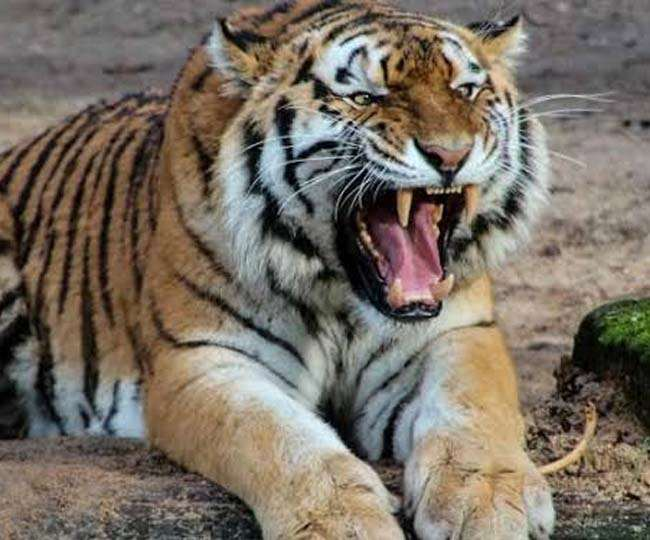 Tiger hunted by wood picker dragged in a thick forest for 50 meters know  More Details