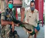 लॉकडाउन में जंगल से गांव में आया मोर, माैत के बाद ग्रामीणों में शोक Dhanbad News