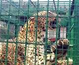 बहराइच : खेत में काम कर रही महिला को घायल कर घर में घुसा तेंदुआ, वन विभाग की टीम ने पकड़ा